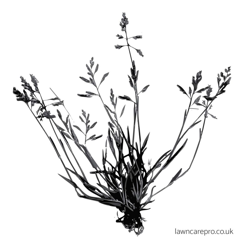 Annual Meadowgrass illustration.