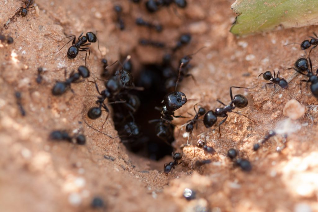 Ants entering an ant mound.