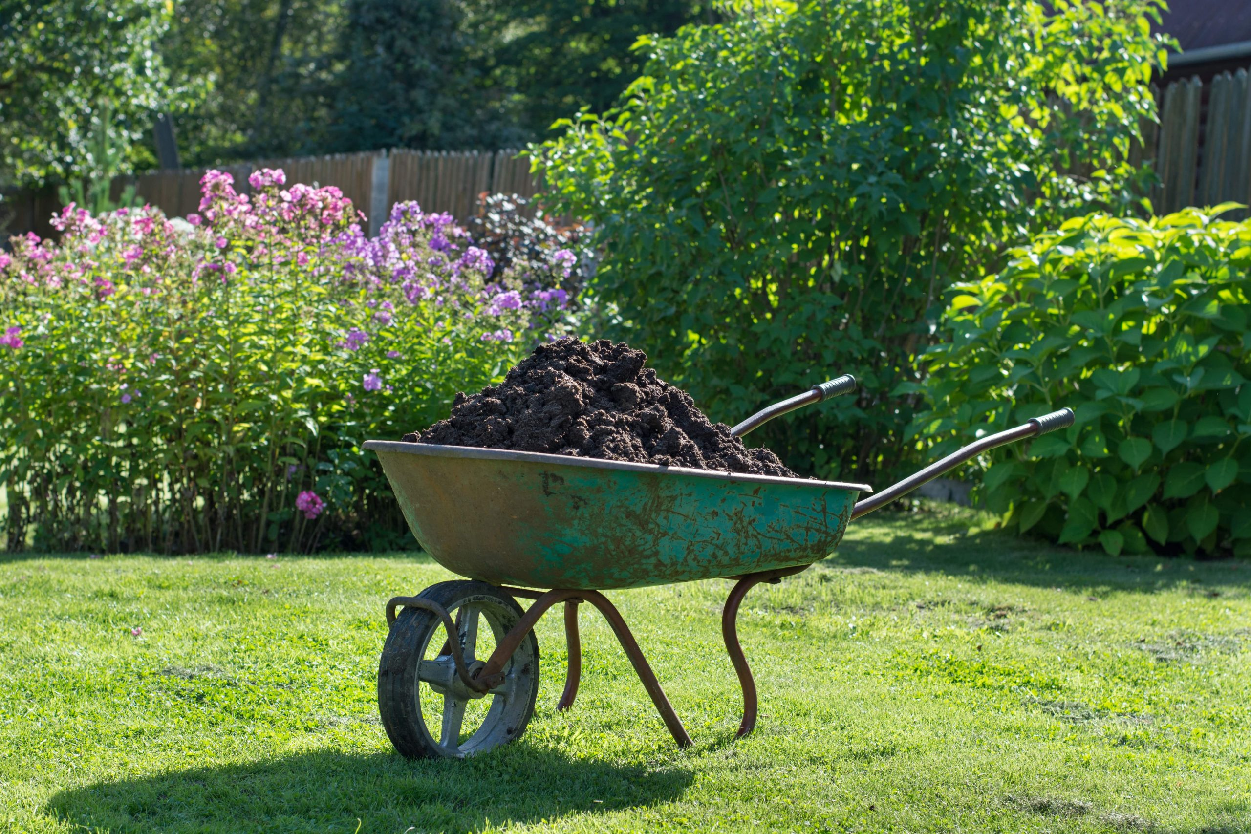 Compost in a wheel barrow on a lawn.