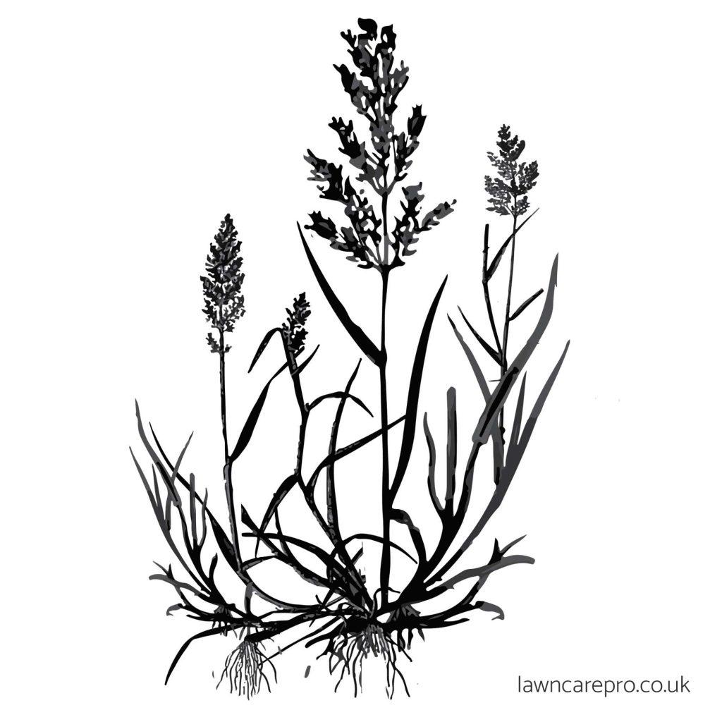 Creeping Bent grass illustration.