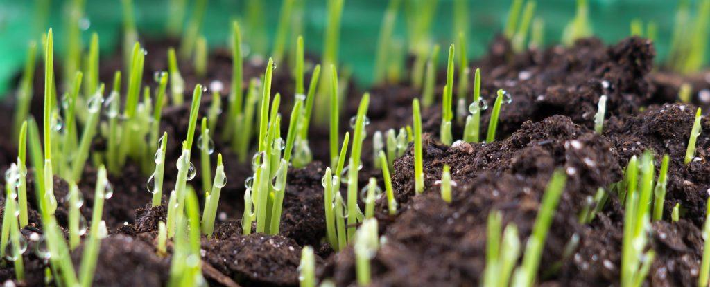 Grass seeds germinating in soil.