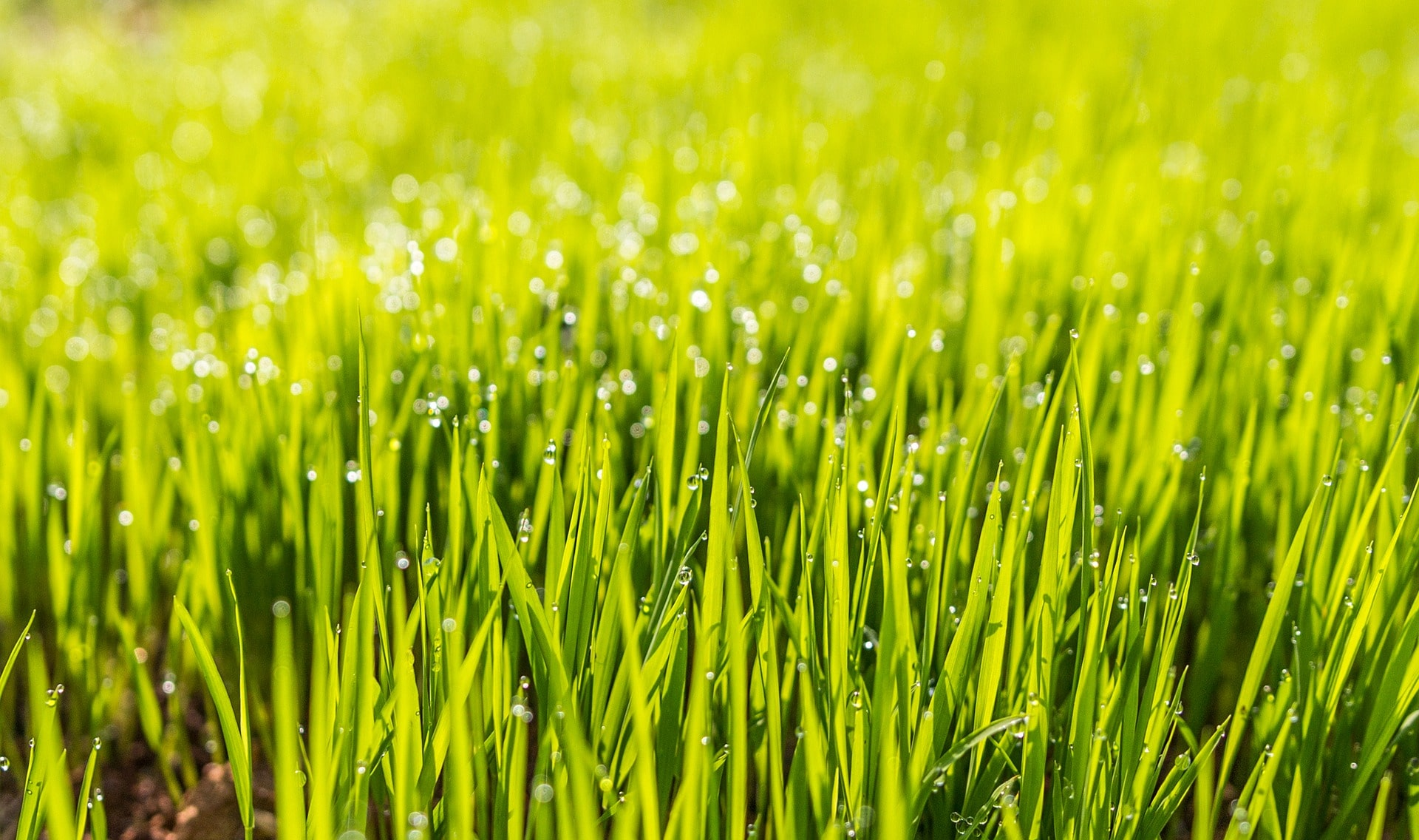 Grass with dew growing in warm climate.