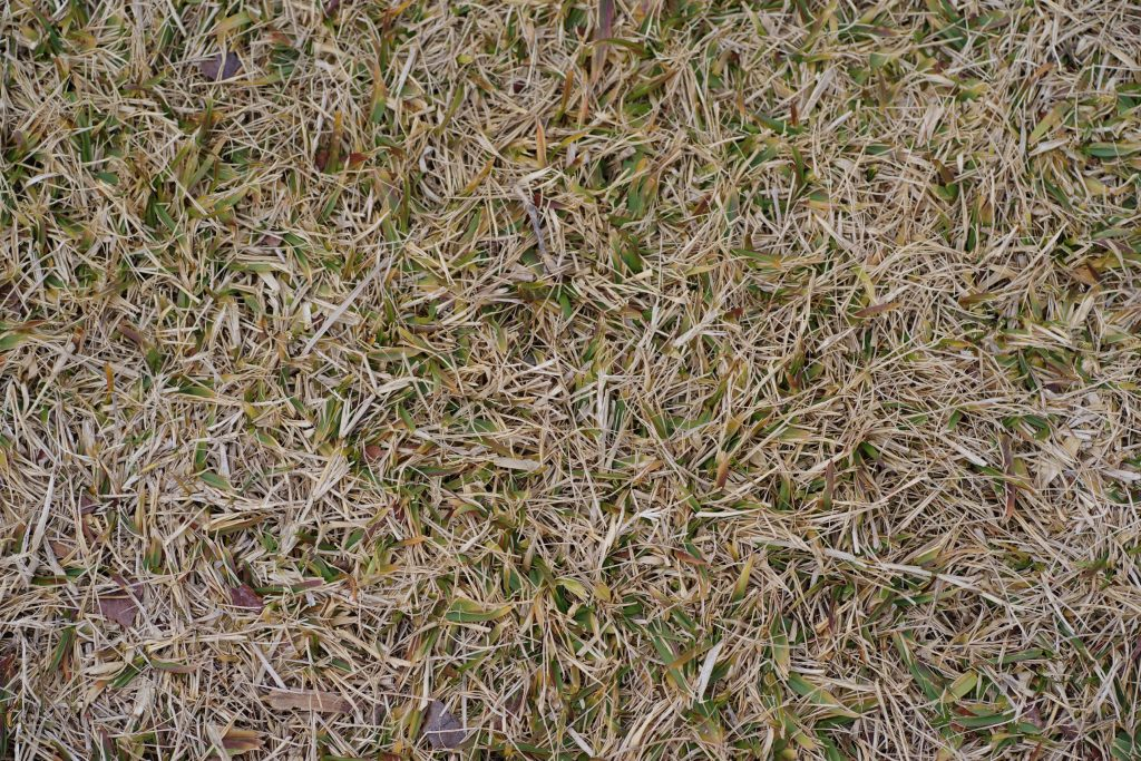 Lawn with extreme thatch buildup.