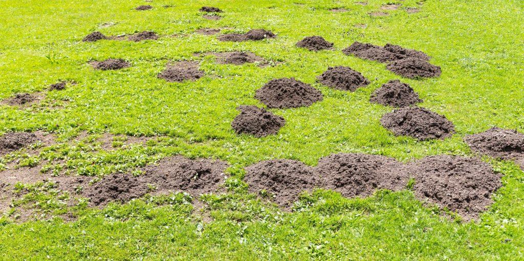 Molehills in a lawn.