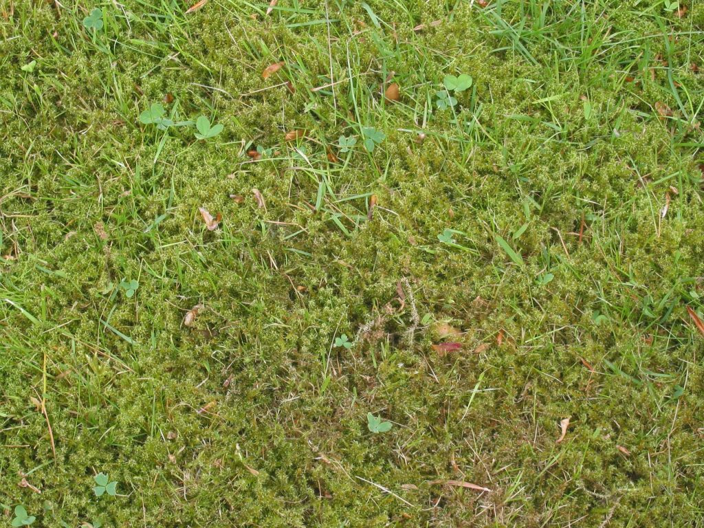 Lawn covered in moss.