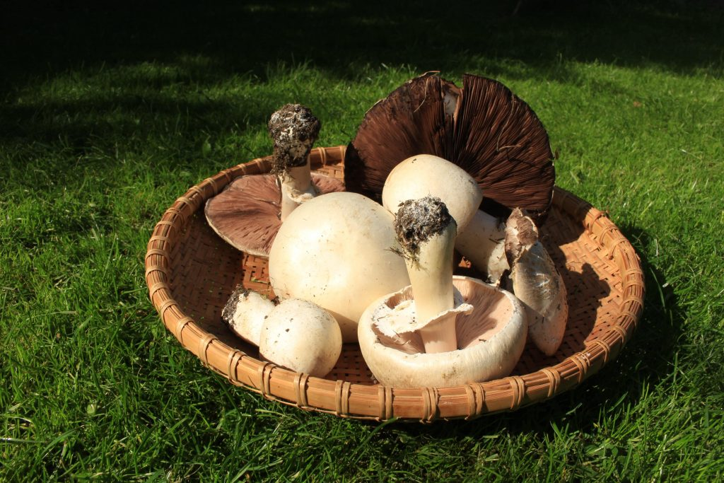 Basket of mushrooms picked from lawn.