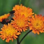 Orange Hawkweed Explained   How To Control Fox-And-Cubs