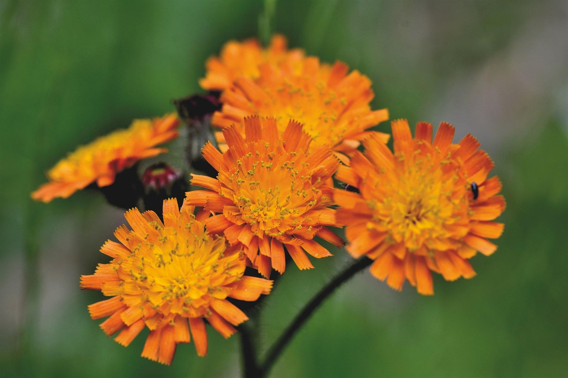 Orange Hawkweed flowers.