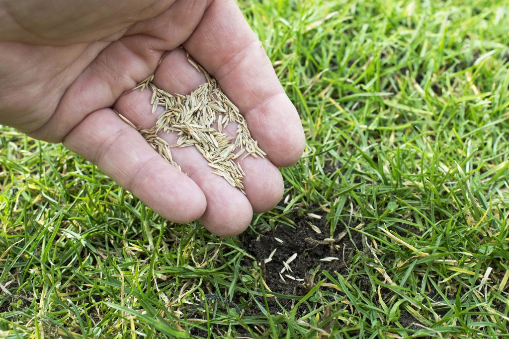 Person scattering grass seeds by hand.